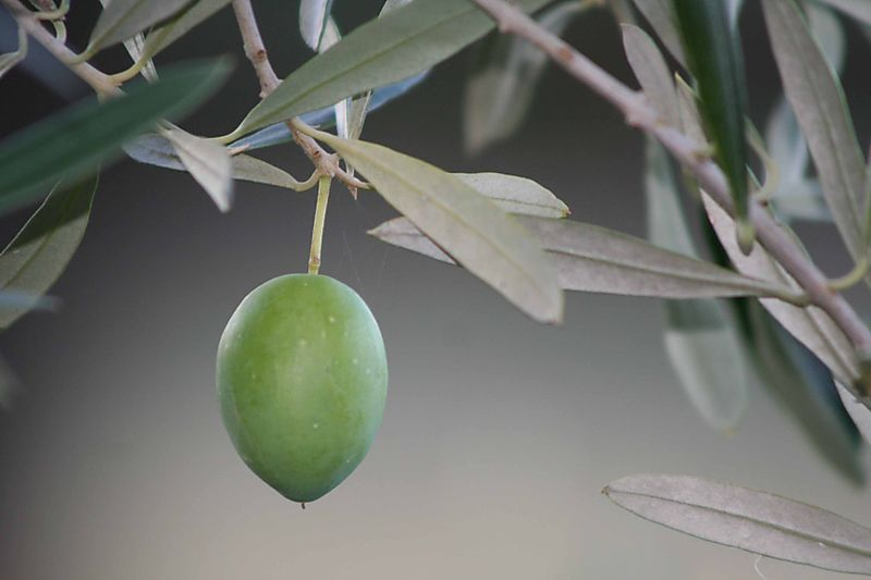 One lonely olive