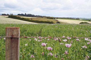 Tassie 2008 Poppy Field
